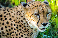 Cheetah at the Emdoneni Cat Rehabilitation Centre in South Africa, which purpose is to care for wild cats.
