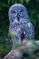Great Grey Owl, Europe Image by Andres Morya