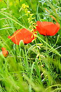 Oriental poppy (Papaver orientale) Photographed in Armenia