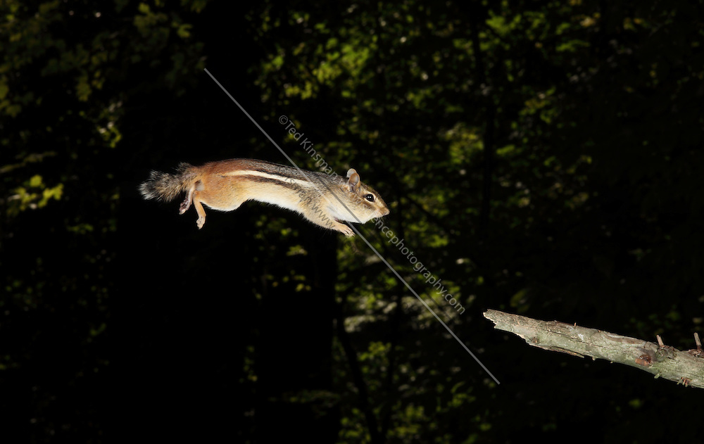 Eastern Chipmunk (Tamias striatus) jumping. Photographed with a high speed flash. This particular chipmunk was able to jump one meter back and forth between a stick and a bird feeder.  The chipmunk was trained to make the jump by moving the stick about 12 cm further from the feeder each day.