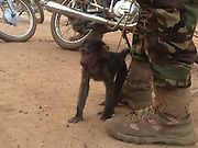 """Orphaned Baboon Is So Relieved To Meet Her Adoptive Mum <br /> <br /> After a mother baboon was killed for bushmeat, her little daughter was left all alone — and was likely going to be raised for meat herself.<br /> <br /> But everything changed when the baby, now named Missa, was discovered by park rangers in Garamba National Park in the Democratic Republic of the Congo.  The baby was in the hands of a poacher, who has since been arrested and charged for killing animals like Missa's mom.<br /> <br /> The babies her mother was killed for bushmeat and she was probably going to be raised and used for bushmeat herself,"""" Itsaso Vélez del Burgo Guinea, technical director of Centre de Rehabilitation des Primates de Lwiro (CRPL), <br /> <br /> People were so determined to save this traumatized baby baboon, that a pilot from the national park flew her to CRPL's rehabilitation center, where she'd be able to regain her strength. With the help of Africa Parks rangers, she was able to ride in the helicopter with a tourist who was coming to CRPL for a visit. Sadly, the bushmeat trade in Africa kills thousands of primates like Missa and her mum each year, devastating families and destabilizing whole ecosystems.  When Missa arrived, it was clear the trauma of her plight had left its mark on her. So rescuers decided to introduce her to someone who could relate.<br /> <br /> An older Baboon named Grace, who was rescued from a hotel where she was kept all alone in a small cage, also calls CRPL home. When Missa met Grace, the bond was instantaneous. And Missa, newly orphaned, was clearly relieved to see someone who reminded her of her mum. """"Two dramatic and sad lives are now united,"""" Itsaso said.<br /> <br /> Photo shows: Missa lost her mum due the bushmeat<br /> ©Centre de Rehabilitation des Primates de Lwiro/Exclusivepix Media"""