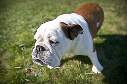 English Bulldog.  Owner - Melissa Ruska , Pet Portrait Photography