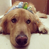 Meet Bob The Golden Retriever: He's Friends With Eight Birds And A Hamster