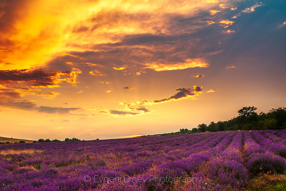 Smashing sunset with vioelt lavender field