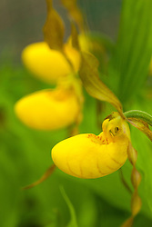 Yellow lady-slippers, Cypripedium calceolus, at The Wild Gardens of Acadia in Maine's Acadia National Park.