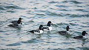 A group of Barrows Goldeneyes swim by that includes adult males and females and first winter birds.  They are highly alert to possible danger as they swim along.
