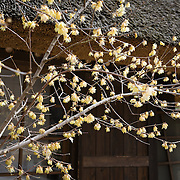 Tree blooming after winter in front of traditional Japanese rural house