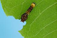 Two-tailed Swallowtail - Hodges#4178 (Papilio multicaudatus) - early instar caterpillar<br /> TEXAS: Travis Co.<br /> Austin<br /> 3-May-2015<br /> J.C. Abbott &amp; K.K. Abbott