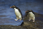 Rockhopper Penguin<br /> Eudyptes chrysocome chrysocome<br /> Jumping from rock to rock<br /> New Island, Falkland Islands