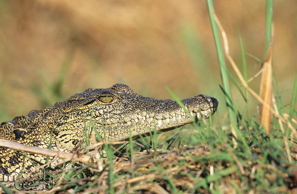 Crocodile in grass