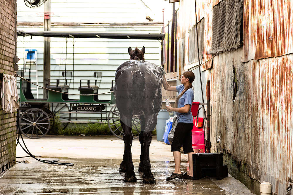 A female worker washes a horse after pulling a sightseeing carriage at the Classic Carriage barn in historic Charleston, SC.