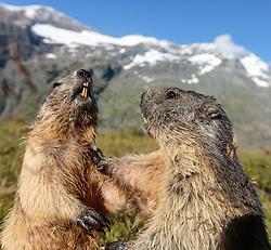 THEMENBILD - zwei Murmeltiere auf der Grossglockner Hochalpenstrasse, dahinter das Grossglockner Massiv, Heiligenblut, Oesterreich, aufgenommen am 31. Juli 2015 // Two marmots in front of the Grossglockner massif at the Grossglockner High Alpine Road, Heiligenblut, Austria on 2015/07/31. EXPA Pictures © 2015, PhotoCredit: EXPA/ JFK