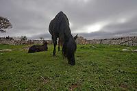 27\10\2010 Nel pascolo della masseria Salita delle Pere ( Canale di Pirro), delimitato da muretti a secco un cavallo murgese bruca  mentre in lontananza un'altro equino della stessa razza è disteso sull'erba sottostanti ad un cielo nuvoloso grigio ...In Puglia, ancora oggi, persistono realtà autentiche e genuine: flora e fauna sono gli ingredienti base delle masserie che con i loro muretti a secco costellano il territorio del tacco d' Italia. Qui l'allevamento è una delle attività principali, ieri come oggi, che il massaro porta avanti quotidianamente con pazienza e devozione. La masseria delle Murge è abitata da equini, bovini, ovini ecc. che sono il motore della produzione alimentare come per esempio la tipica mozzarella. Entriamo quindi in un'atmosfera bucolica che ci fa respirare odori, gustare sapori e ammirare colori che identificano il territorio. Buon viaggio dei sensi..