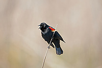 A Red Winged Blackbird sits atop a cattail and sings to other Blackbirds that this is his territory.