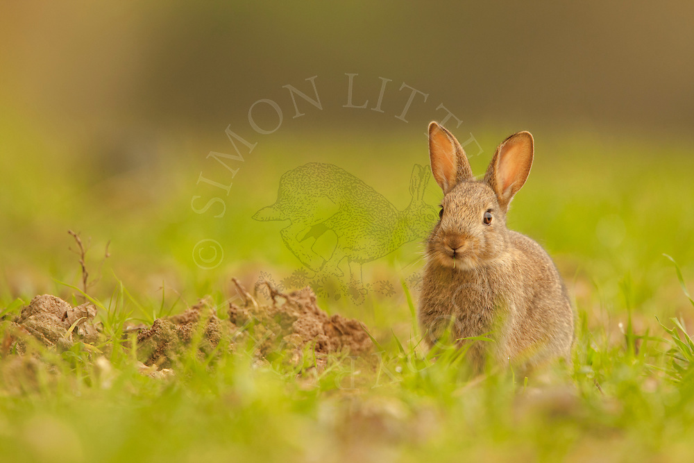 European Rabbit (Oryctolagus cuniculus) young, sitting on edge of wheat field, Norfolk, Uk.