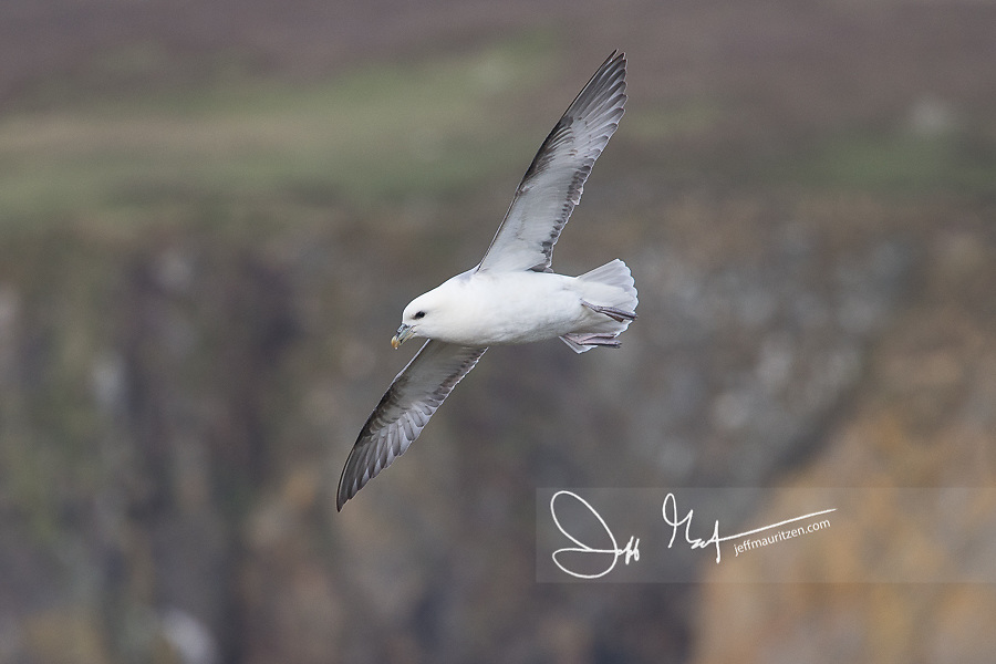 A Fulmar in flight over Fair Isle, Shetlands, Scotland. | Jeff ...