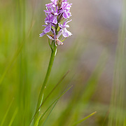 Orchid in bloom standing in grass