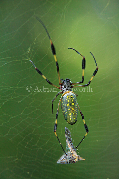 Golden Orb Spider (Nephila clavipes) holdng butterfly caught in web. Corcovado National Park, Osa Peninsula, Costa Rica. <br />