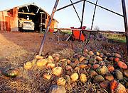 Rotting pumpkins and old shed, Anna Bay, Port Stephens, Australia