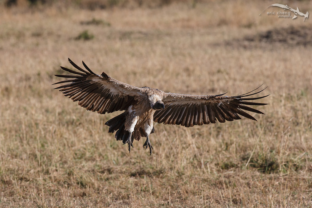 A white-backed vulture (Gyps africanus) comes in for a landing. Serengeti, Tanzania.