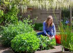 Giving sedums the 'Chelsea chop' by cutting back by a third in May to encourage more compact, bushier growth and prevent them flopping over later in the summer or Autumn