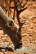 Israel, Carmel mountain Hai-Bar (Wildlife Preserve) Nature Reserve, close up of a fallow deer Dama dama