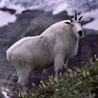 Mountain goat billyin alpine meadow near Siyeh Glacier. Glacier National Park, Montana.