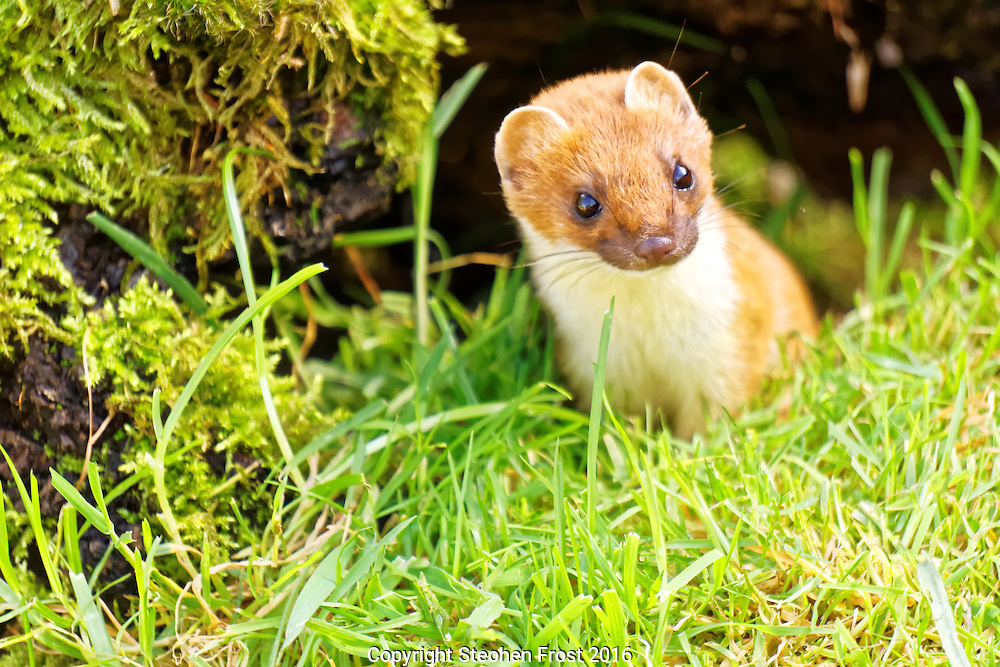 A stoat, also known as a short-tailed weasel, photographed in England.