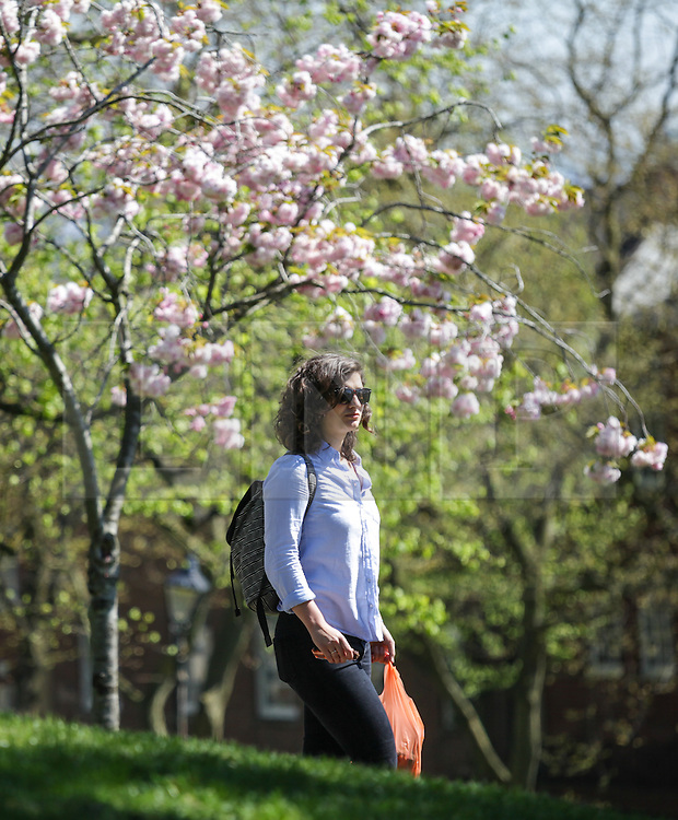 © Licensed to London News Pictures. 21/04/2015. Bristol, Avon, UK. A woman walking past Cherry Blossom in the park on Brandon Hill in Bristol today, 21st April 2015. The south west of England is set for more warm temperatures and plenty of sunshine today. Photo credit : Rob Arnold/LNP