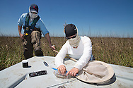 April 9, 2014,  Plaquemines Parish, Louisiana, Louisiana State University entomologist Linda Hooper-Bui and her research associate Alexander Sabo, collect insects and sediment samples in Bay Jimmy, one of the areas hardest hit by the BP oil spill.