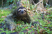 Brown-throated Three-toed Sloth <br /> Bradypus variegatus<br /> Male (covered in algae) walking on ground<br /> Limon, Costa Rica