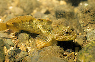 Banded Sculpin, Roaring River, Missouri<br /> <br /> ENGBRETSON UNDERWATER PHOTO