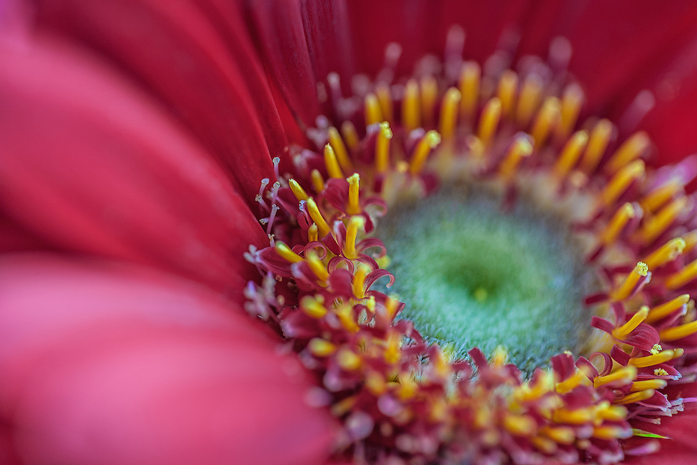 Close up photograph of a gerber daisy focused on swirled petels.