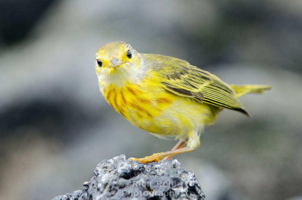 Yellow warbler, Dendroica petechia aureola in  Urbina Bay on Isabela Island in the Galapagos Islands National Park and Marine Reserve, Ecuador.