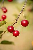 2016 Sour Cherry Harvest