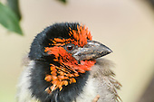 African Barbets