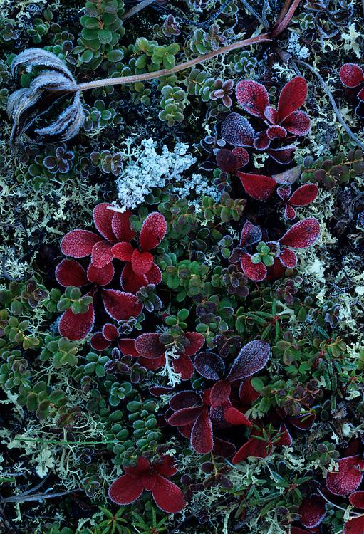USA, Alaska, Denali National Park, Early autumn frost on fall-colored tundra near Wonder Lake