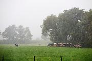 Koeien zoeken beschutting bij een boom. <br /> <br /> Cows are hiding near the trees.