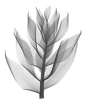 X-ray image of Persian fritillary foliage, lateral view (Fritillaria persica, black on white) by Jim Wehtje, specialist in x-ray art and design images.