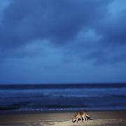 A dingo at dusk on 75-Mile Beach, Fraser Island, Australia. Fraser Island is the largest sand island on the world, and a World Heritage Site. The dingos here are some of the most pure breeds in the world, kept from interbreeding with dogs due to their geographic isolation on the island.