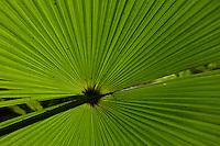 Fan palm details, Kali Batu Puti.