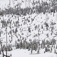 Lodgepole Pine (Pinus contorta) new growth trees in winter after fire, Lamar Valley, Yellowstone National Park, Wyoming