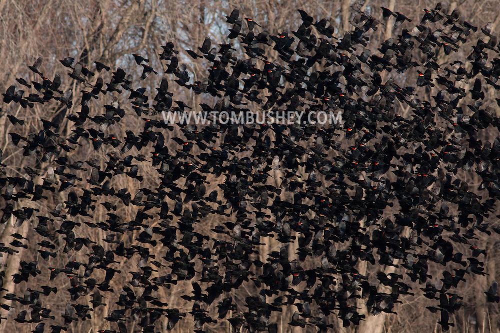 Wawayanda, New York - Red-winged blackbirds fly over a farm field on March 22, 2015.
