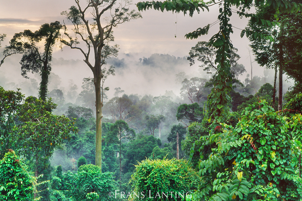 Morning mist in lowland rainforest, Sabah, Borneo