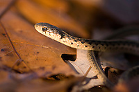 slither; eastern; garter; snake; thamnophis sirtalisanimal; common; non; venomous; snakes; ovoviviparous; creepy; critter; deception; deceptive; eye; eyes; face; habitat; head; look; looking; looks; muscle; mysterious; natural; nature; one; pattern; poised; portrait; reptile; scary; search; searches; searching; sight; smell; stretch; stretching; stretches; vision; wild; wildlife; yellow; coiled; ability; aid; animal; brown; biology; ecology; ecosystem; environment; environmental; color; colour; green; ground; little; outdoors; side; view; north; america; terrestrial; single; damp; water; wetlands; wooded; watch; watches; watching; tight; shot; nobody; no; maryland; young; alive; small; back; curve; repeating; bronze; usa; full; body; horizontal;