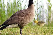 Canada goose with gosling<br /> -Savannah, GA U.S.A