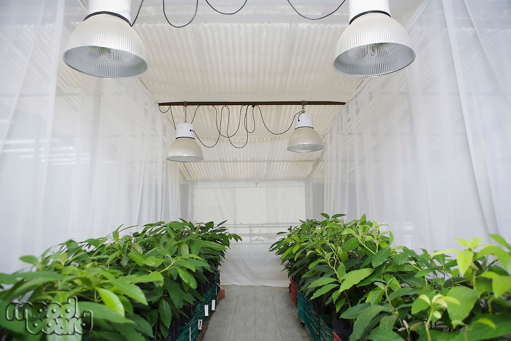 Rows of plants in greenhouse