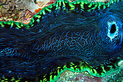 Southern Giant clam - Tridacna derasa - Agincourt reef, Great Barrier Reef, Queensland, Australia.