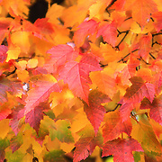 """Those Autumn Leaves"" 2<br />