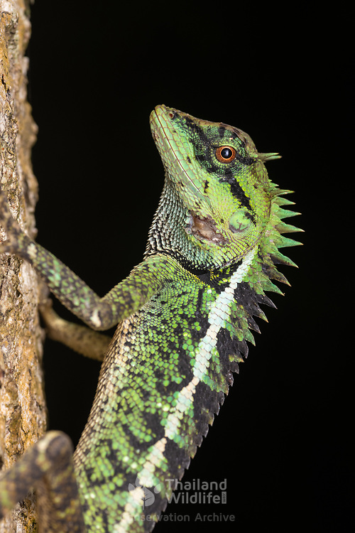 Calotes emma, commonly known as Emma Gray's forest lizard and the Forest Crested Lizard, is a species of lizard in the family Agamidae. The species is endemic to China, South Asia, and Southeast Asia.
